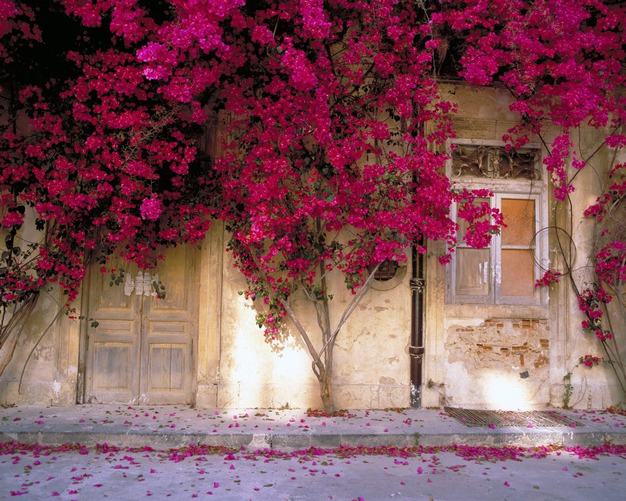 Stunning bougainvillea flowering in the spring
