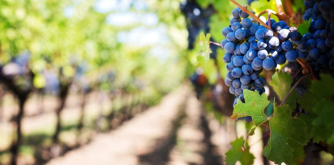Branch Plant Grape Vine Vineyard Fruit 919774 Pxherecom