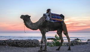 Camel 4006586 1920